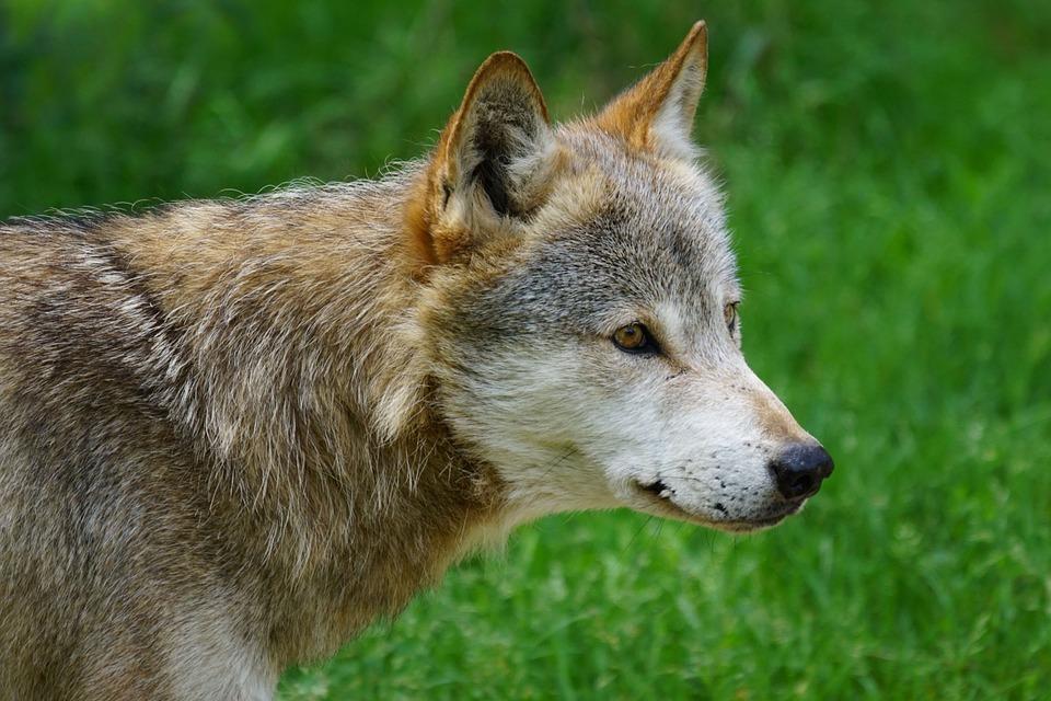 Vlk a baran